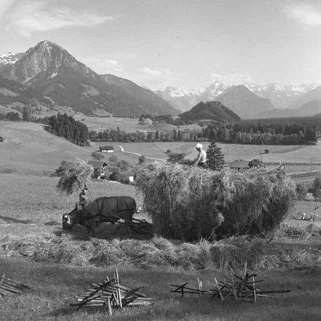 Heuernte im Allgäu mithilfe einer Kuh - Foto auf Leinwand
