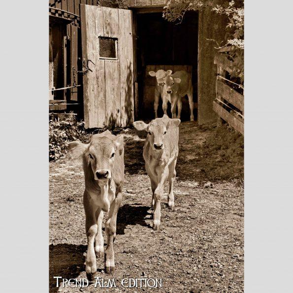 Kühe im Frühjahr