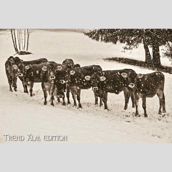 Kuhherde im Winter - Foto auf Leinwand