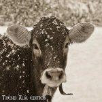 kuh-winter-sepia-18116