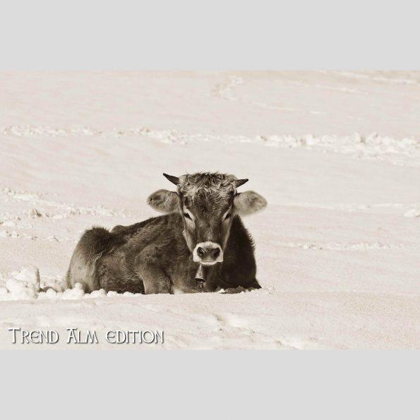 Die liegende Kuh - Foto auf Leinwand