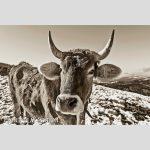 kuh-winter-sepia-18126