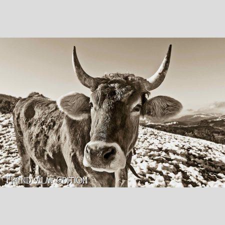 Die neugierige Kuh - Foto auf Leinwand
