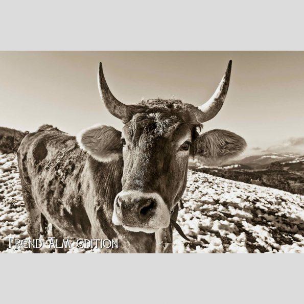 Die Neugierige Kuh