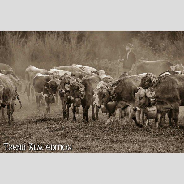 Viehscheid Oberstaufen - Foto auf Leinwand