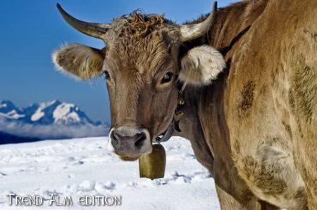 Kuh in den Bergen - Foto auf Leinwand